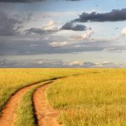 Road through a field of yellow grain